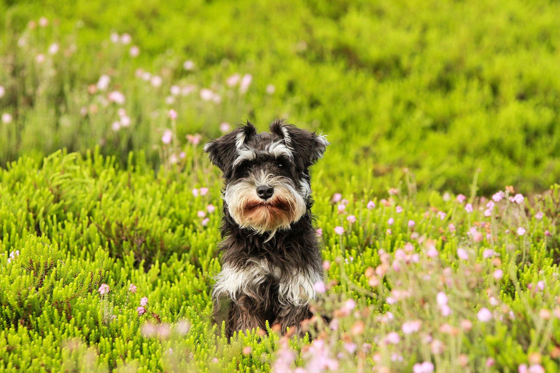 Hond gras